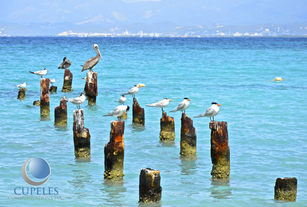 isla-caja-de-muertos-ponce-puerto-rico-pelicans